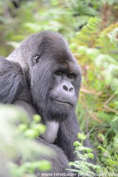 The volcanos look down to me. In the dusk it felt kinda mystical. I knew there are the mountain gorillas, maybe even awaiting me. Mountain Gorilla, Track, Animals, Art, Art Background, Animales, Runway, Animaux, Kunst