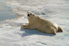 Polar bears - the icon of the Arctic