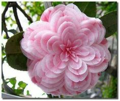 Flower Garden Powder Pink Camelia seeds - 50 Quality Fresh seeds Beautiful Pink Camelias for your garden. Start inside now for a beautiful plant to transfer this Spring! Unusual Flowers, Unusual Plants, Rare Flowers, Flowers Nature, Amazing Flowers, Pretty Flowers, Pink Flowers, Strange Flowers, Beauty Of Flowers