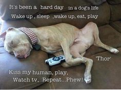 the day in the life of a pitbull...I love my puppppaaaaaayyyyyyssss!