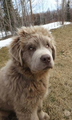 Caucasian ovcharka. My dream breed, right after the dog I