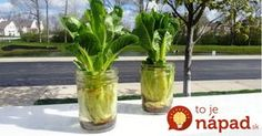 Regrow Fruits and Vegetables Growing Romaine Lettuce in Mason Jars Regrow Lettuce, Romaine Lettuce Growing, Regrow Vegetables, Growing Vegetables, Cactus Plants, Garden Plants, Household Expenses, Grow Your Own Food, Vegetable Garden