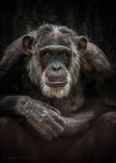Chimpanzee on black