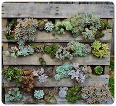 The Urchin Collective - Recycled Pallet Vertical Wall Garden @Alyssa Panetta this is what I thought you were doing - these are succulents.