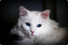 chat angora turc blanc yeux bleu