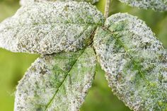 Powdery mildew is one of the most common and easily recognized plant diseases. Learn how to identify, treat, and prevent powdery mildew. Rose Diseases, Plant Diseases, Garden Insects, Garden Pests, Garden Fertilizers, Powdery Mildew Treatment, Organic Gardening, Gardening Tips, Container Gardening
