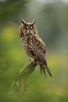 bella-fauna: Gufo Long-eared di Jirí Michal