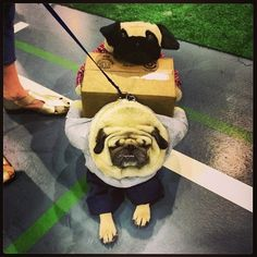But it looks like a big day of costumed pugging takes out of them.