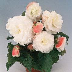 Nonstop® Appleblossom - Tuberous Begonia - Begonia x tuberhybrida For Shade containers