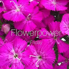 Happy Friday to all of you 💕 #flowerpower #duizendschoon #sweetwilliam