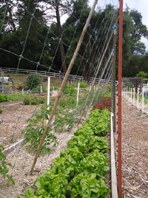 trellising tomatoes; they planted seedlings in one long row, then ran a roll of 6 ft tall wire fencing that rested at the base of the plants. the fencing was then laid diagonally and rested on sturdy posts, with the fencing supported every 5 ft with bamboo.