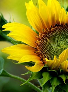 sunflower and leaves Happy Flowers, Flowers Nature, Pretty Flowers, Sun Flowers, Sunflower Garden, Sunflower Fields, Sunflower Flower, Sunflowers And Daisies, Yellow Flowers