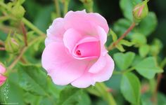 Rose - An unknown beauty - Roses