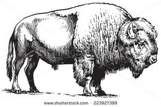 Find Buffalo American Bison stock images in HD and millions of other royalty-free stock photos, illustrations and vectors in the Shutterstock collection. Buffalo Animal, Buffalo Art, Bison Tattoo, Bison Logo, Buffalo Painting, Drawing Sketches, Drawings, American Bison, Clipart Black And White