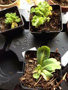 Hanne ChristensenThe Green Team   Kål danner af og til kallus, forstadie til rødder. Spidskål, fx som også sætter en masse skud efter at det første hoved er skåret.  Jeg har rod på flere grønkåls - og spidskåls skud, rosenkål har min mor rod på.  Om de bare går i blomst eller bliver til nye reelle planter det får tiden vise