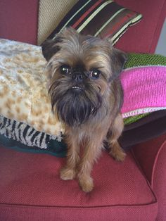 Choopie has a new haircut Brussels Griffon Puppy