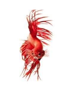 Photo Series Captures the Stunning Beauty of Siamese Fighting Fish Beautiful Creatures, Animals Beautiful, Beta Fish, Siamese Fighting Fish, Beautiful Fish, Exotic Fish, Freshwater Aquarium, Fish Art, Tropical Fish
