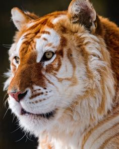 Golden tiger. Only 30 of these beauties left in the world.