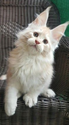 http://www.mainecoonguide.com/maine-coon-temperament/