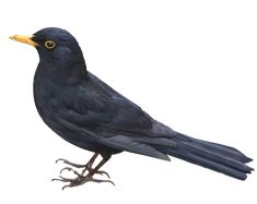 Blackbird PNG by *EveLivesey on deviantART