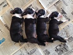 This is way too cute! Four Brothers and Sisters Boston Terrier Puppies Spoon Sleeping Together! http://www.bterrier.com/four-brothers-and-sisters-boston-terrier-puppies-spoon-sleeping-together-photo/ - https://www.facebook.com/bterrierdogs
