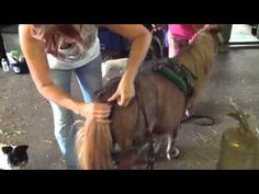 "Harnessing the Miniature Horse ""Skip"""