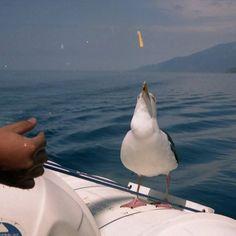 【ag_toku】さんのInstagramをピンしています。 《ウミネコにかっぱえびせんあげてみた。 #ウミネコ  #北海道  #日本の風景 #鳥  #動物  #Japanese scenery #海  #animal  #bird  #a black-tailed gull  #ocean  #A snack was given to a black-tailed gull》