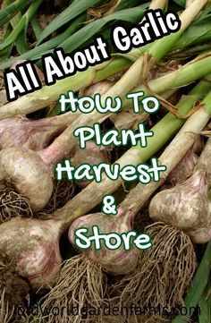 Container Gardening Ideas All about GARLIC - from how and when to plant to harvesting, drying, and storing. Organic Gardening Tips, Organic Plants, Organic Vegetables, Growing Vegetables, Regrow Vegetables, Growing Plants, Hydroponic Farming, Hydroponic Growing, Hydroponics