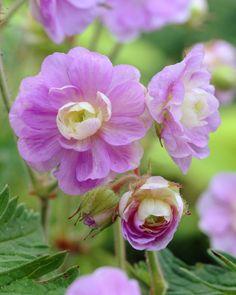 10 seeds Geranium Gernic Summer Skies Bonsai Flowers perennial  Bonsai plants