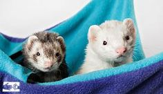 Nikki and Little Guy are playful and mischievous, as ferrets should be!
