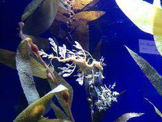 Leaf fish Long Beach Aquarium, Fish
