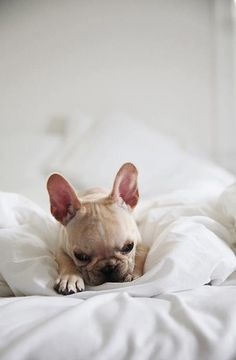i think he has a case of the Mondays #frenchbulldog
