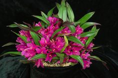 dendrobium laevvifolium culture | Recent Photos The Commons Getty Collection Galleries World Map App ...