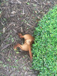 Doxie butt❣️ #dachshund