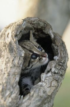 Ocelot cat is an exotic wild cat with its origins in South America, although these cats can be found even in states like Texas. Ocelot cats are. Cute Kittens, Cats And Kittens, Big Cats, Vida Animal, Mundo Animal, Ocelot, Beautiful Cats, Animals Beautiful, Cute Baby Animals