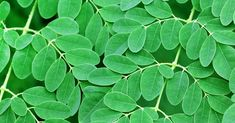 Scientists have reported that a hot-water extract of the leaves of Moringa Oleifera killed up to 97% of human pancreatic cancer cells (Panc-1) after 72 hours in lab tests. Moringa leaf extract inhibited the growth of... [read more]