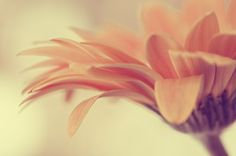 daisy flower photograph / botanical peach coral by shannonpix, $32.00