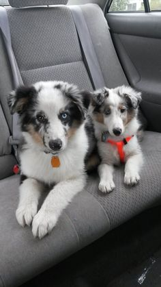 Blue Merle Sheltie with his Blue Merle Aussie brother