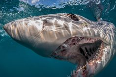 Overfishing could be threatening shortfin makos, treasured by fishermen for their fight and their meat.