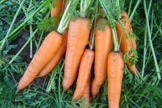 Sunteți pregătiți pentru o astfel de recoltă? Iată cum trebuie plantat morcovul - Fasingur Carrots, Vegetables, Gardening, Agriculture, Garten, Carrot, Vegetable Recipes, Veggie Food, Lawn And Garden