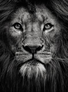The portrait of a lion #animals