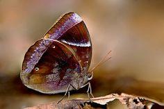 Dark Blue Jungle Glory (Thaumantis klugius lucipor)