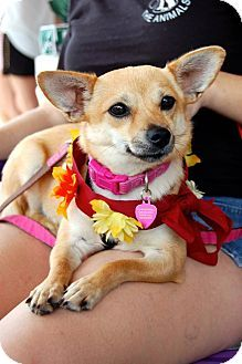 Today's Five O'Clock Cuteness is Goldie, who is available for adoption in Baton Rouge, Louisiana. She's a Corgi / Chihuahua mix less than a year old who weighs only 9 pounds. Goldie is a sweet, happy little girl who gets along very well with people and dogs. She would probably do best in a home without toddlers though due to her small size. For more info on Goldie, please visit her Adopt-a-Pet.com profile: http://www.adoptapet.com/pet/8934118-baton-rouge-louisiana-corgi-mix