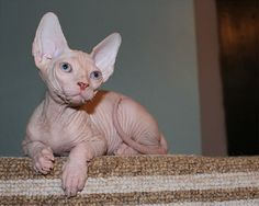 cute sphynx cat - Google Search