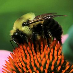 Bumblebee on coneflower.  #nwf #nationalwildlifefederation #BackyardHabitat #bugs #bees #flowers #nature #wildlife #naturephotography #wildlifephotography