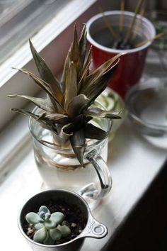 Come coltivare l'ananas in vaso