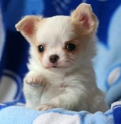 Long haired chihuahua (:
