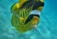 """Впервые увидела, что у Полосатой Рыбы- Бабочки такое """"плюшевое"""" лицо. Размер Рыбки примерно 15 сантиметров.  Полосатая Рыба- Бабочка, Красное море"""