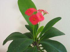 Euphorbia milii, crown of thorns