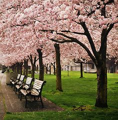 Portland, Oregon #vacations  by the waterfront - cherry trees.